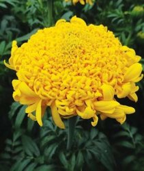 Tagetes Erecta - Mission Giant Yellow