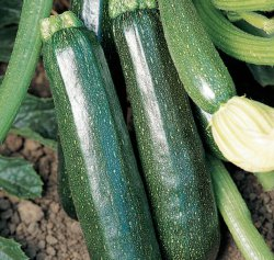 Summer Courgette - Sure Thing Hybrid