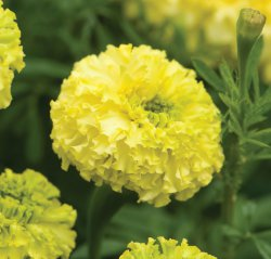 Tagetes Erecta - Key Lime