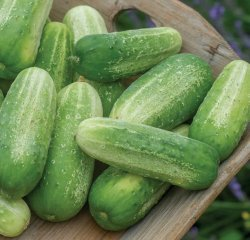 Cucumber - Picklebush