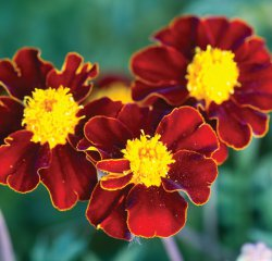 Tagetes Patula - Red Knight